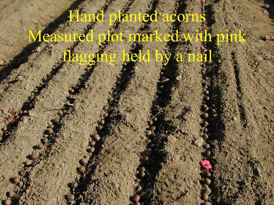 Hand planted acorns Measured plot marked with pink flagging held by a nail