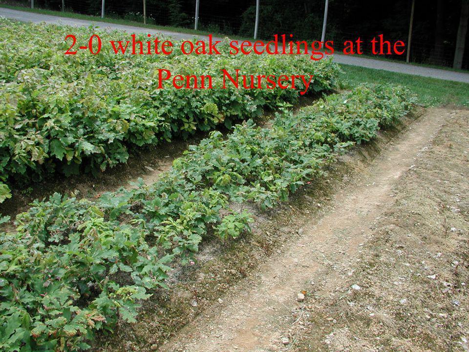 2-0 white oak seedlings at the Penn Nursery