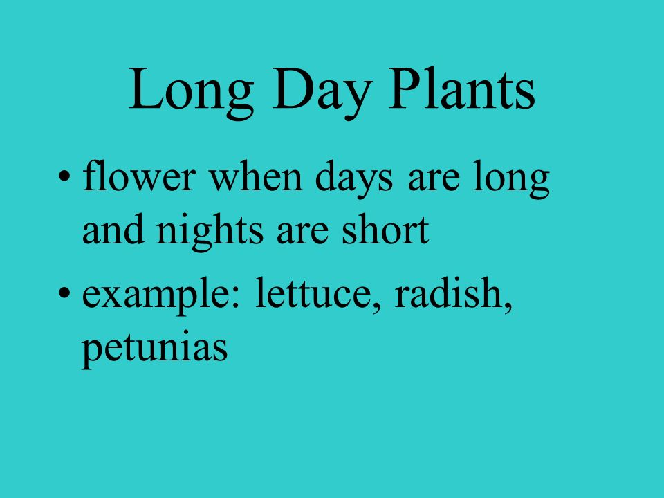 Short Day Plants examples Chrysanthemum Christmas Cactus Poinsettia