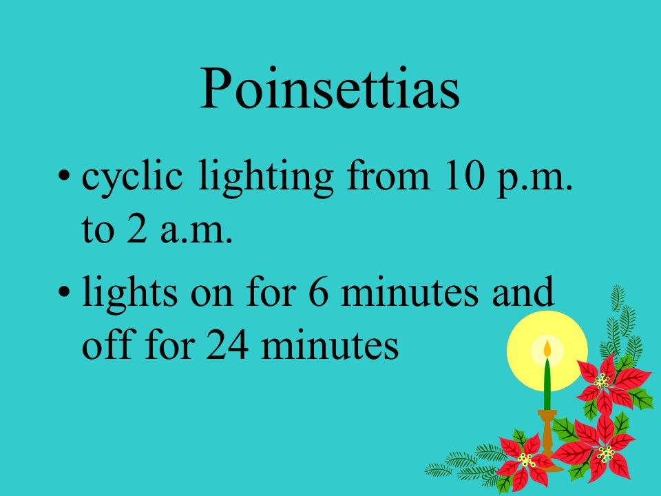 Poinsettias use night interrupted lighting turn on artificial lights from 10 p.m. to 2 a.m. splits up the dark period