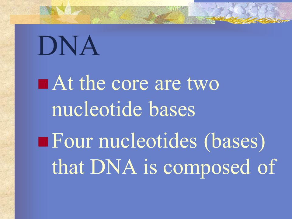 DNA At the core are two nucleotide bases Four nucleotides (bases) that DNA is composed of