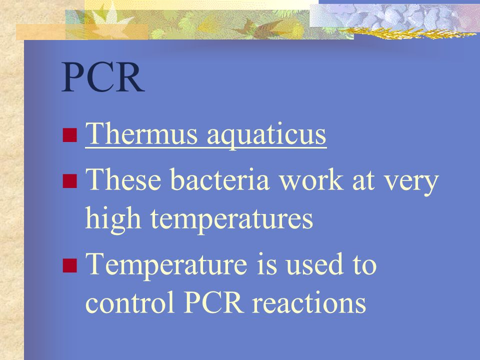 PCR Thermus aquaticus These bacteria work at very high temperatures Temperature is used to control PCR reactions