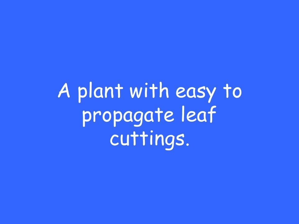 A plant with easy to propagate leaf cuttings.
