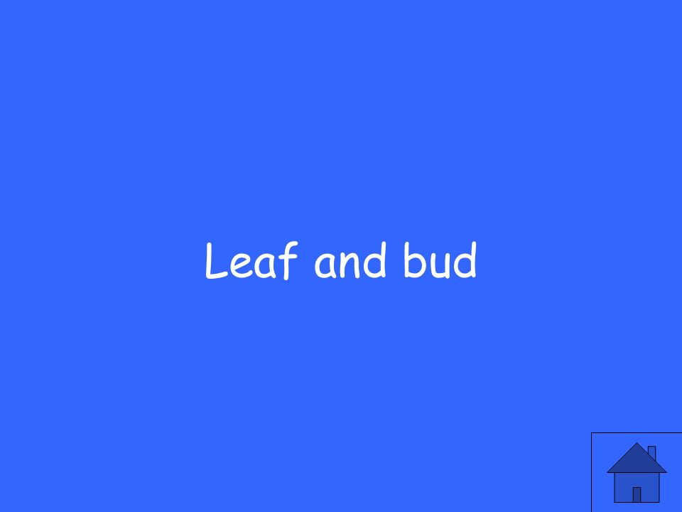Leaf and bud
