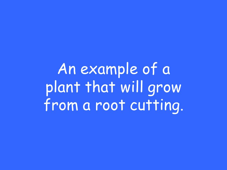 An example of a plant that will grow from a root cutting.