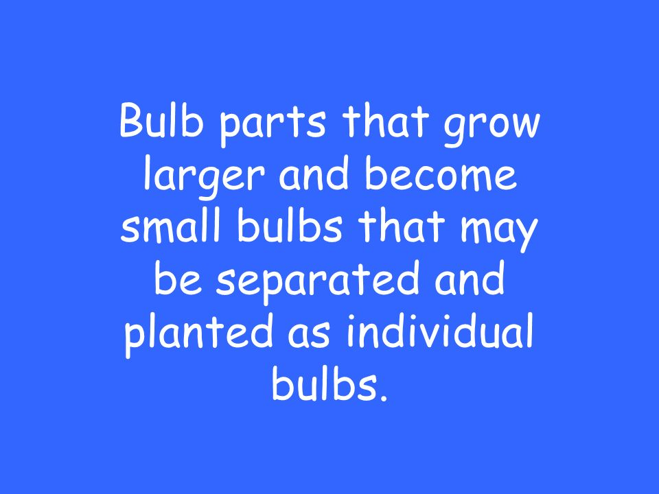 Bulb parts that grow larger and become small bulbs that may be separated and planted as individual bulbs.