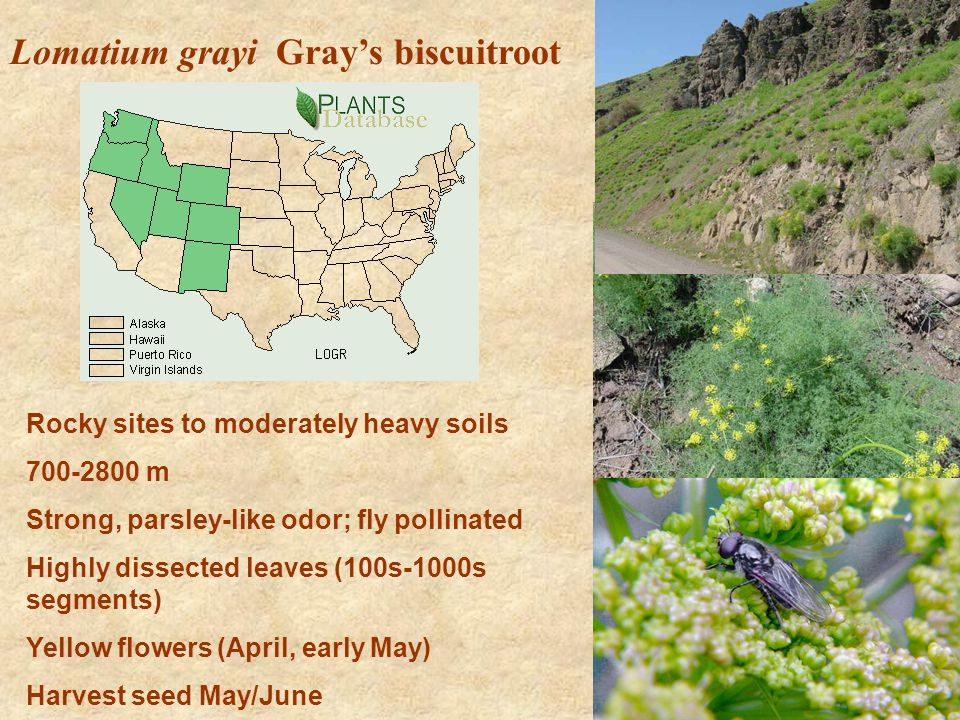 Lomatium grayi Grays biscuitroot Rocky sites to moderately heavy soils 700-2800 m Strong, parsley-like odor; fly pollinated Highly dissected leaves (100s-1000s segments) Yellow flowers (April, early May) Harvest seed May/June