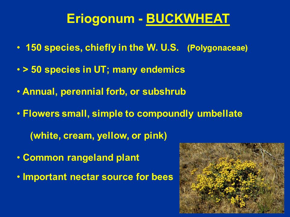 Eriogonum - BUCKWHEAT 150 species, chiefly in the W. U.S. (Polygonaceae) > 50 species in UT; many endemics Annual, perennial forb, or subshrub Flowers