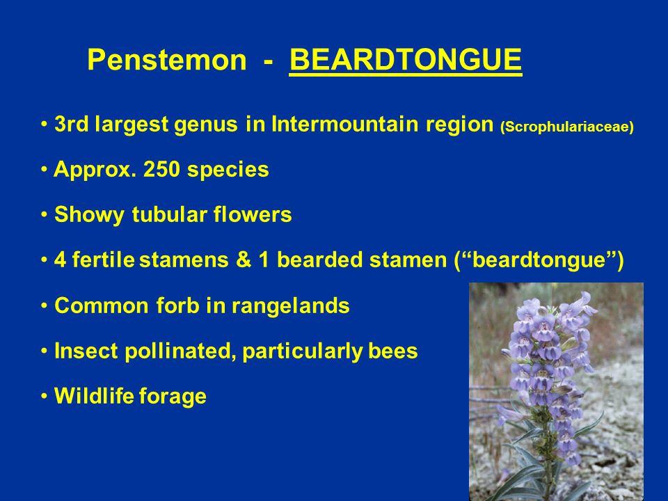 Penstemon - BEARDTONGUE 3rd largest genus in Intermountain region (Scrophulariaceae) Approx. 250 species Showy tubular flowers 4 fertile stamens & 1 b