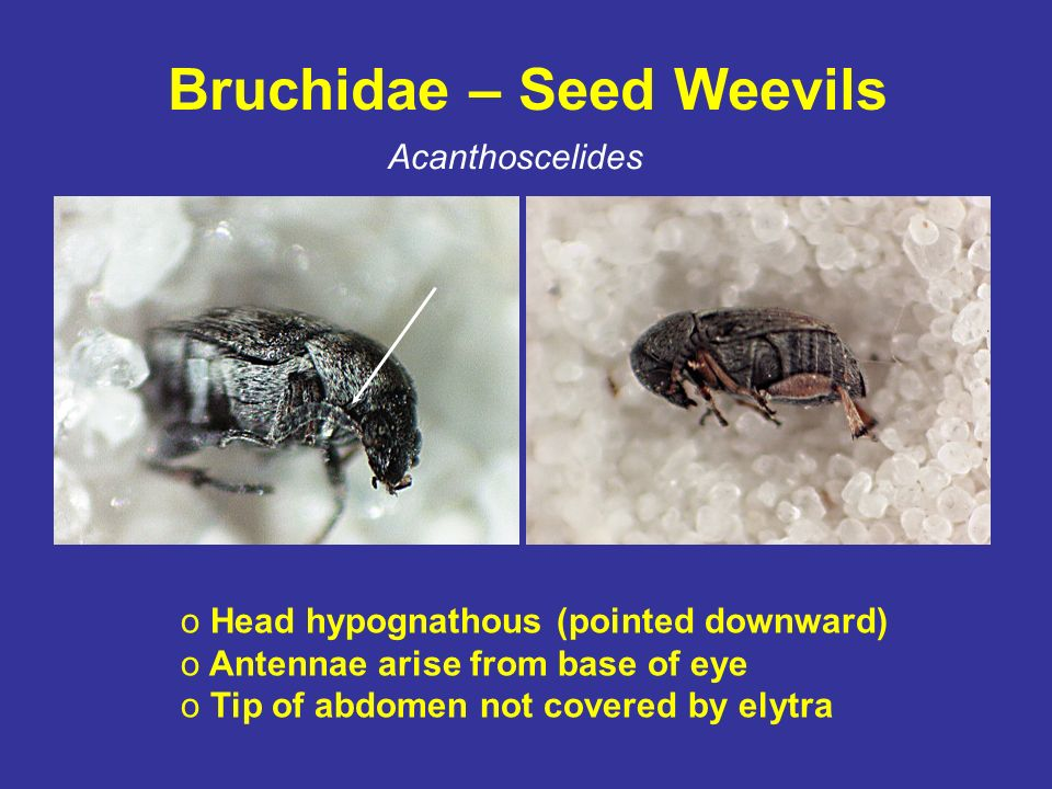 Bruchidae – Seed Weevils Acanthoscelides o Head hypognathous (pointed downward) o Antennae arise from base of eye o Tip of abdomen not covered by elyt