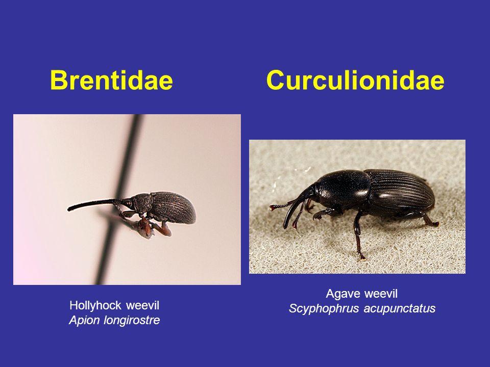 Brentidae Curculionidae Hollyhock weevil Apion longirostre Agave weevil Scyphophrus acupunctatus