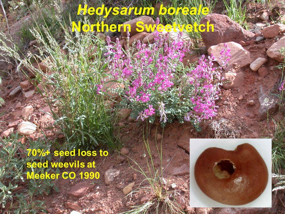Hedysarum boreale Northern Sweetvetch 70%+ seed loss to seed weevils at Meeker CO 1990