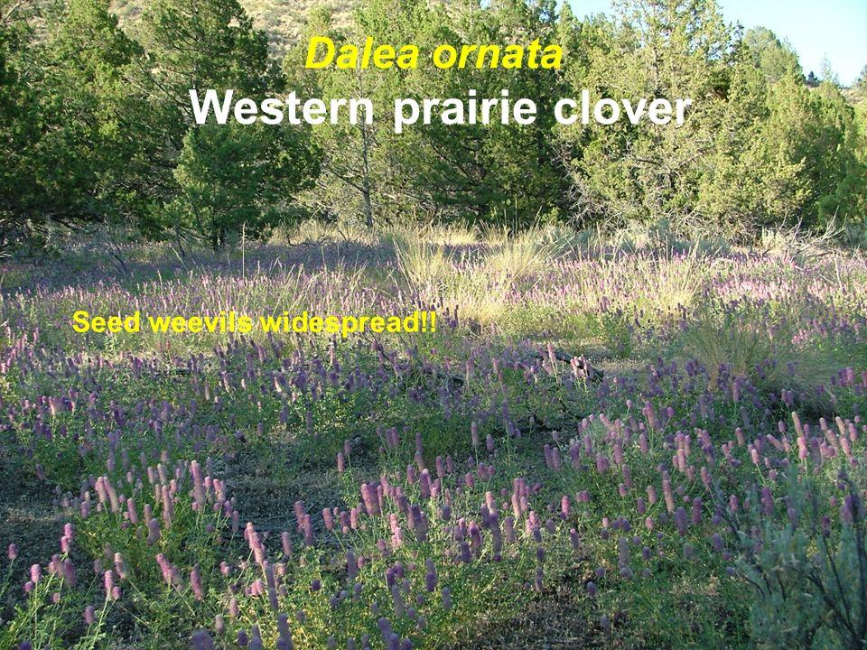 Dalea ornata Western prairie clover Seed weevils widespread!!
