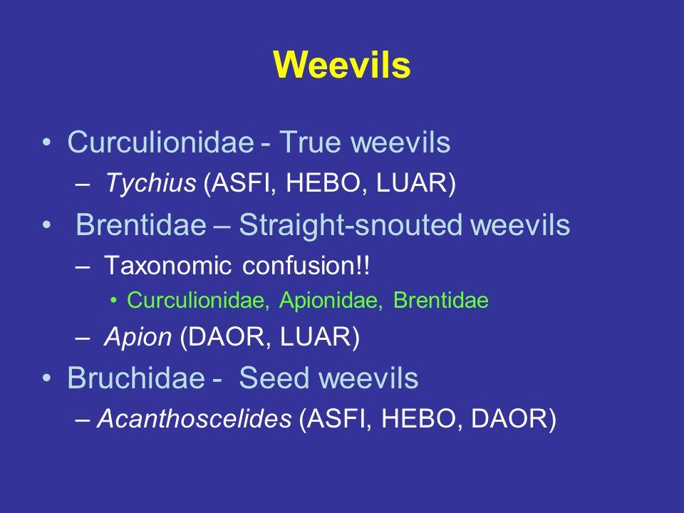 Weevils Curculionidae - True weevils – Tychius (ASFI, HEBO, LUAR) Brentidae – Straight-snouted weevils – Taxonomic confusion!! Curculionidae, Apionida