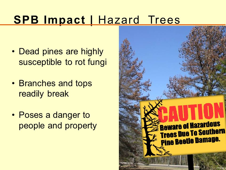 SPB Impact | Hazard Trees Dead pines are highly susceptible to rot fungi Branches and tops readily break Poses a danger to people and property
