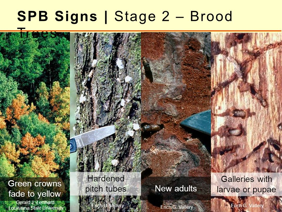SPB Signs | Stage 2 – Brood Trees Green crowns fade to yellow Hardened pitch tubes Galleries with larvae or pupae New adults Erich G. Vallery Gerald J