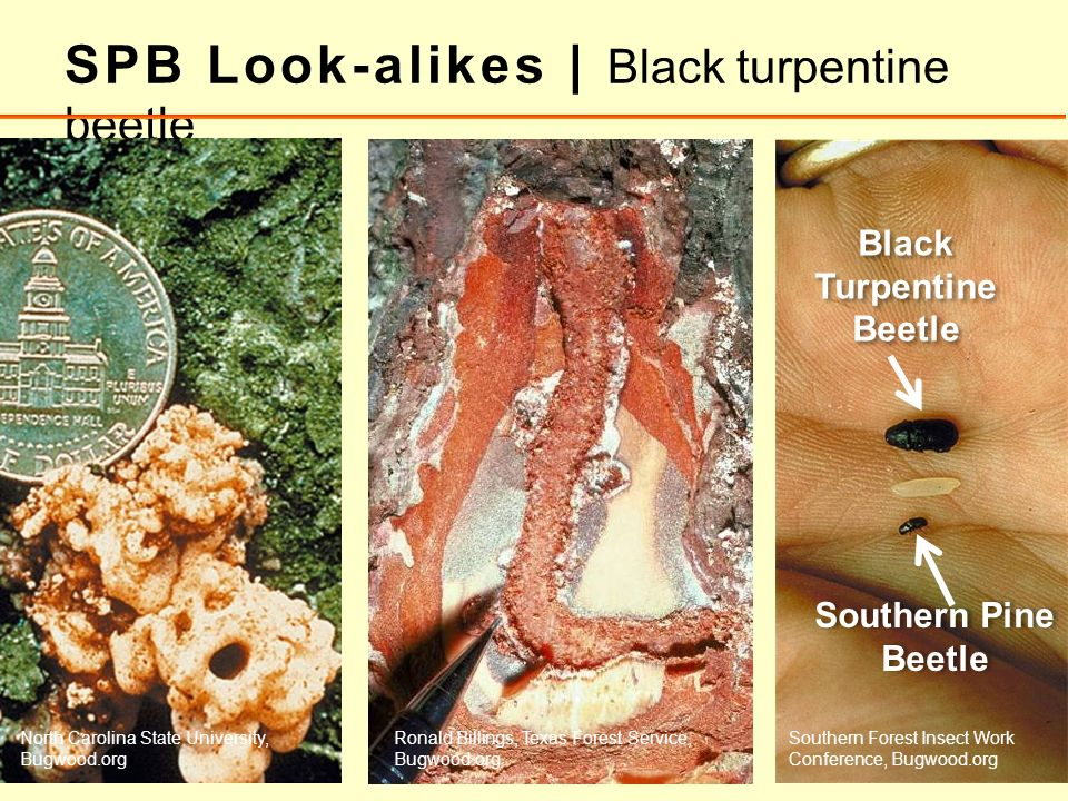 SPB Look-alikes | Black turpentine beetle Black Turpentine Beetle Southern Pine Beetle North Carolina State University, Bugwood.org Ronald Billings, T