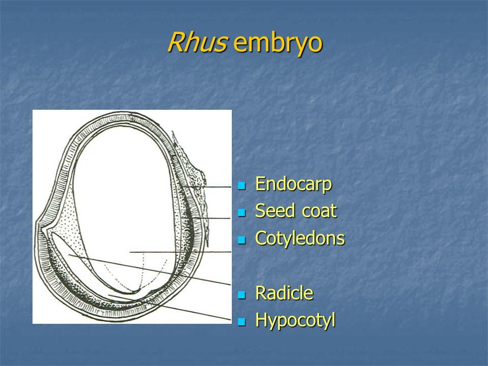 Rhus embryo Endocarp Endocarp Seed coat Seed coat Cotyledons Cotyledons Radicle Radicle Hypocotyl Hypocotyl