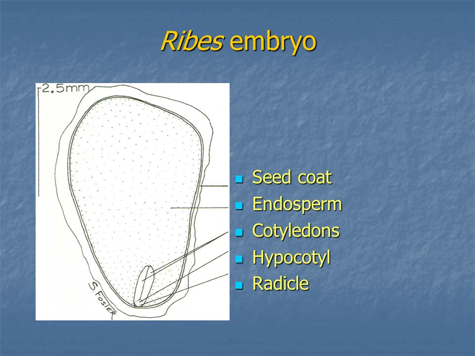 Ribes embryo Seed coat Seed coat Endosperm Endosperm Cotyledons Cotyledons Hypocotyl Hypocotyl Radicle Radicle