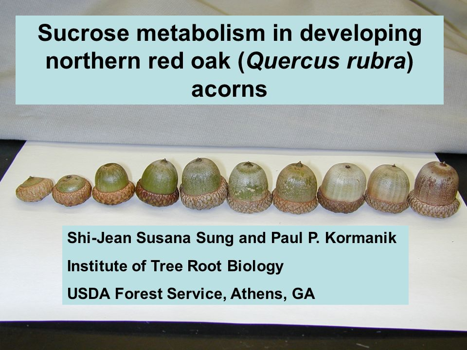 Sucrose metabolism in developing northern red oak (Quercus rubra) acorns Shi-Jean Susana Sung and Paul P.