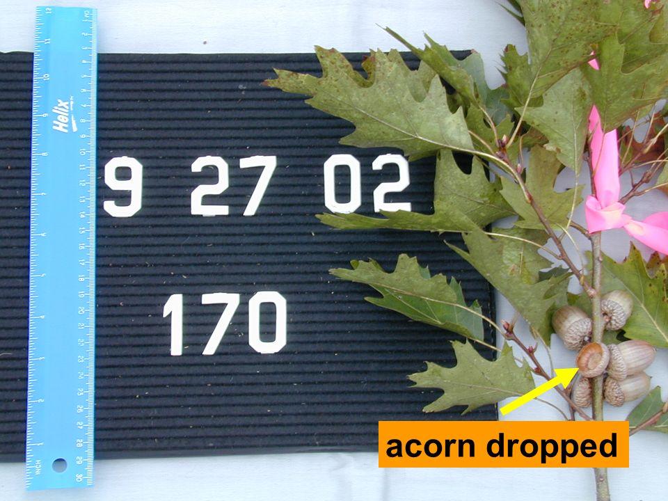 acorn dropped
