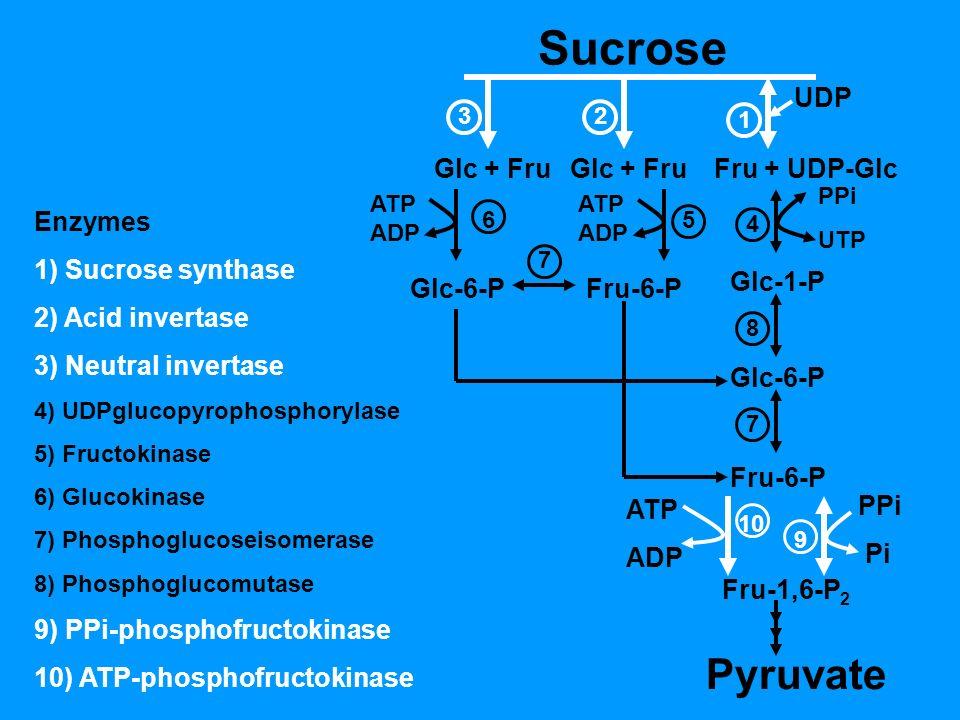 Sucrose UDP Glc + Fru Fru + UDP-Glc 1 23 Glc-6-PFru-6-P ATP ADP Glc-1-P Glc-6-P Fru-6-P Fru-1,6-P 2 Pyruvate PPi UTP ATP ADP PPi Pi 4 56 7 8 7 10 9 Enzymes 1) Sucrose synthase 2) Acid invertase 3) Neutral invertase 4) UDPglucopyrophosphorylase 5) Fructokinase 6) Glucokinase 7) Phosphoglucoseisomerase 8) Phosphoglucomutase 9) PPi-phosphofructokinase 10) ATP-phosphofructokinase ATP ADP