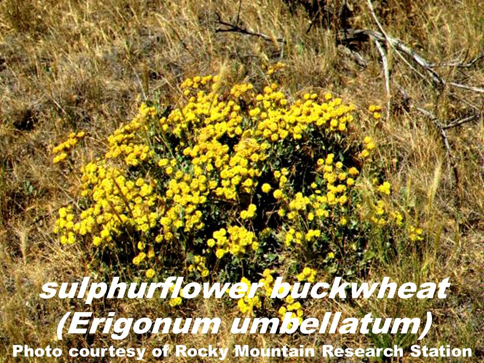 sulphurflower buckwheat (Erigonum umbellatum) Photo courtesy of Rocky Mountain Research Station