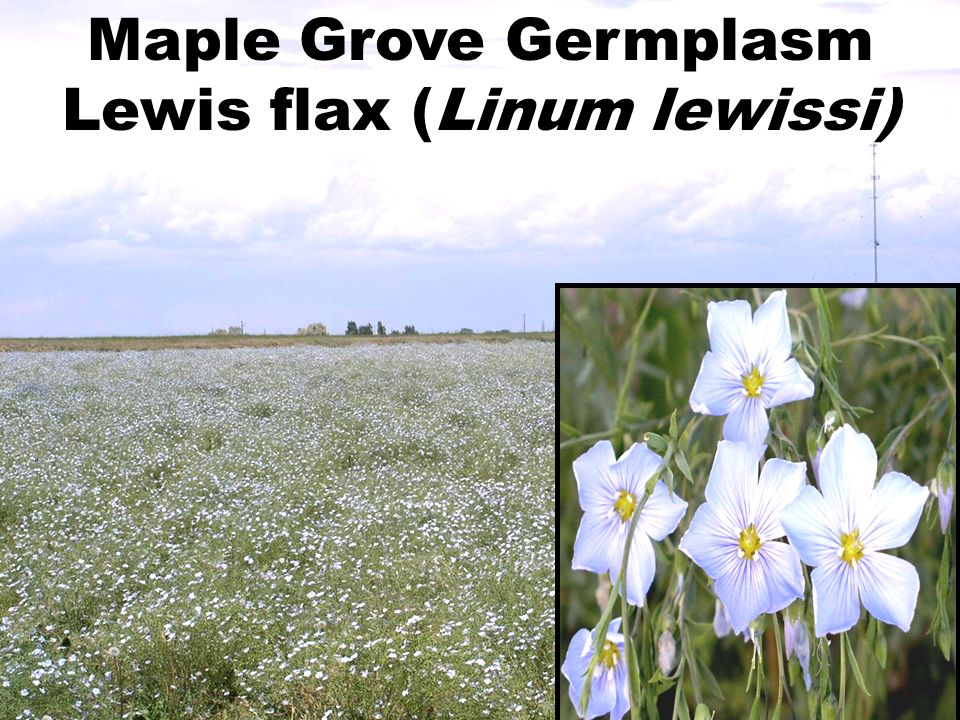 Anatone Germplasm bluebunch wheatgrass (Pseudoroegneria spicata)