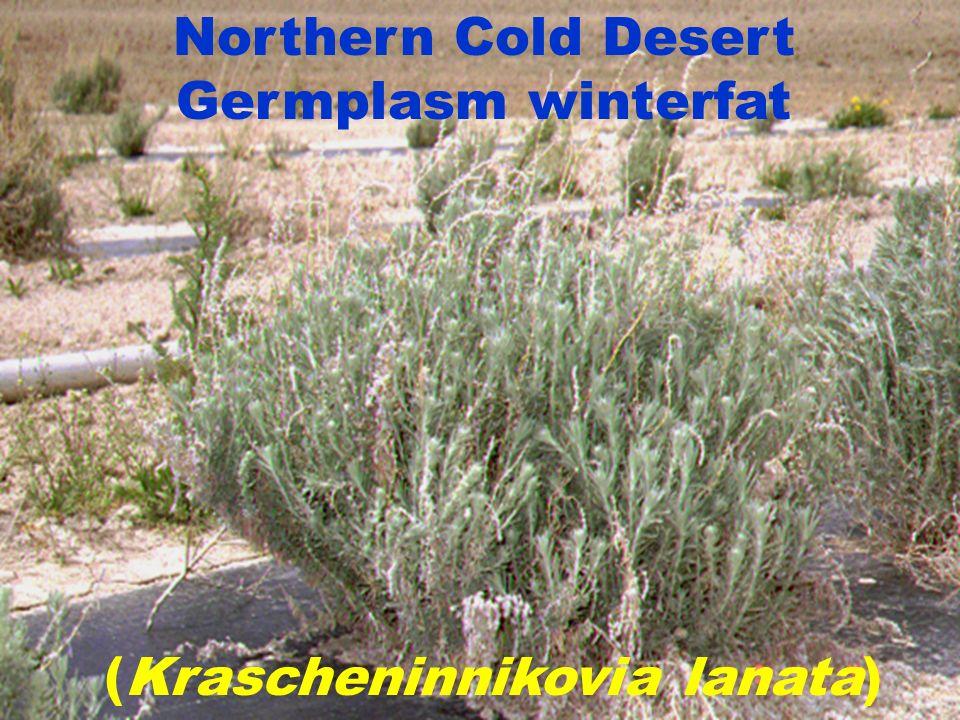 Northern Cold Desert Germplasm winterfat (Krascheninnikovia lanata)