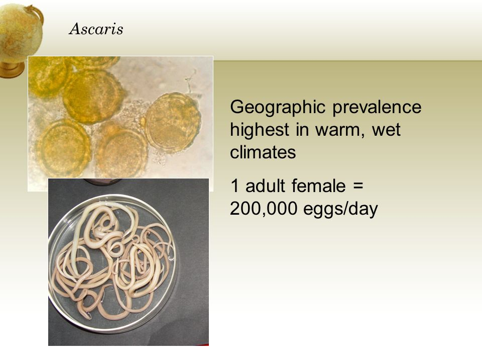 Ascaris Geographic prevalence highest in warm, wet climates 1 adult female = 200,000 eggs/day