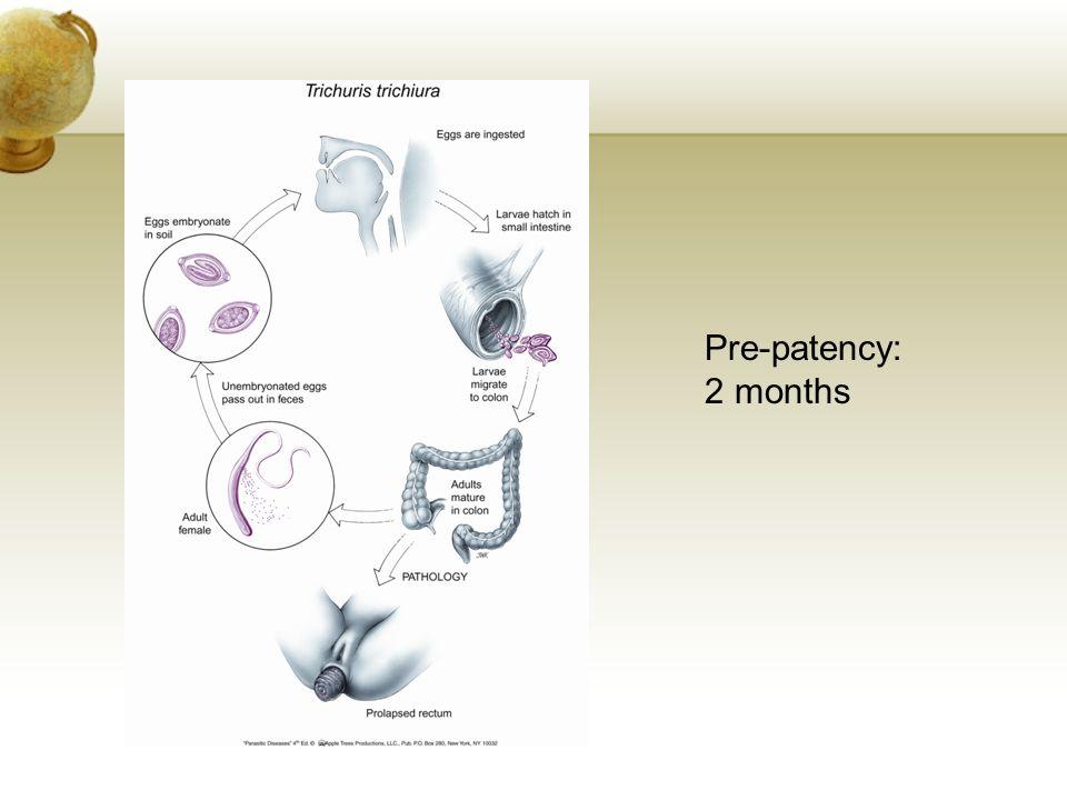 Pre-patency: 2 months