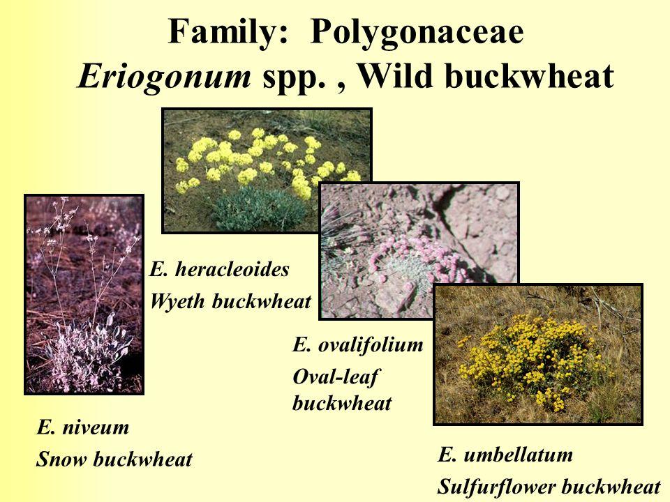 Family: Polygonaceae Eriogonum spp., Wild buckwheat E.