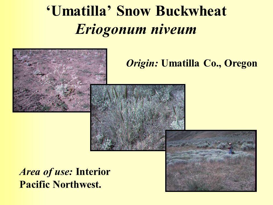 Umatilla Snow Buckwheat Eriogonum niveum Origin: Umatilla Co., Oregon Area of use: Interior Pacific Northwest.