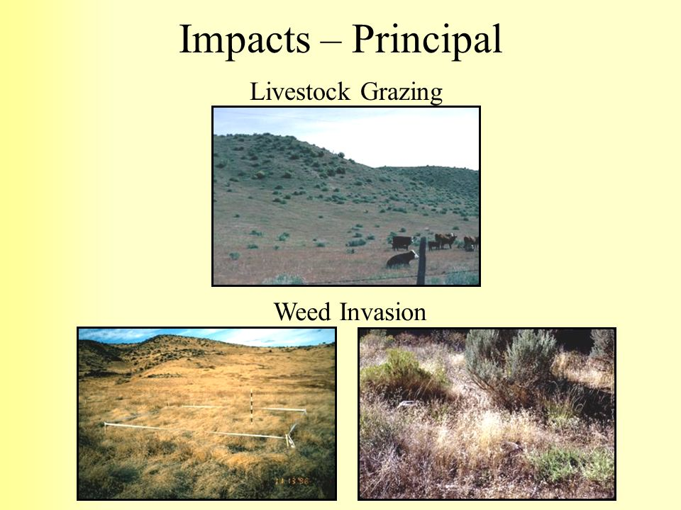 Impacts – Principal Livestock Grazing Weed Invasion