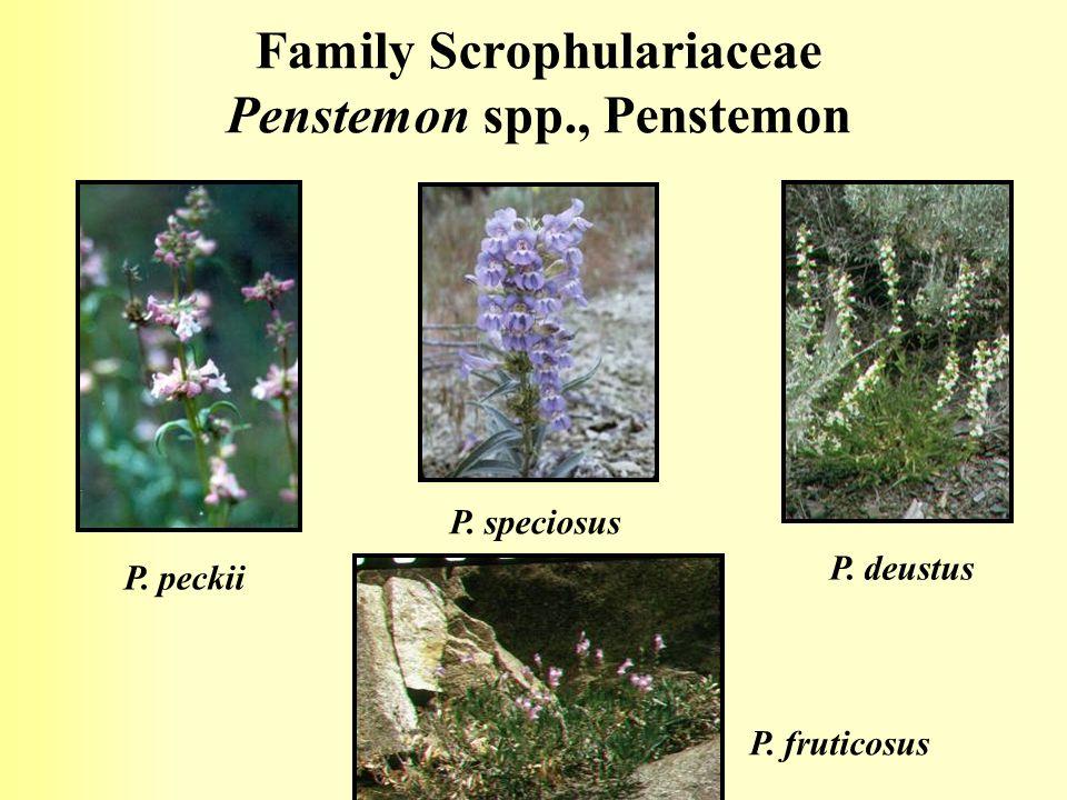 Family Scrophulariaceae Penstemon spp., Penstemon P. peckii P. speciosus P. deustus P. fruticosus