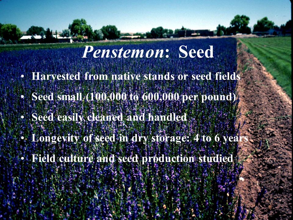 Penstemon: Seed Harvested from native stands or seed fields Seed small (100,000 to 600,000 per pound) Seed easily cleaned and handled Longevity of see