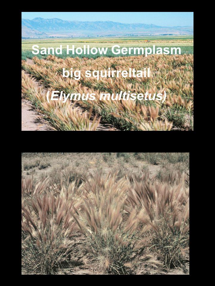 Sand Hollow Germplasm big squirreltail (Elymus multisetus)