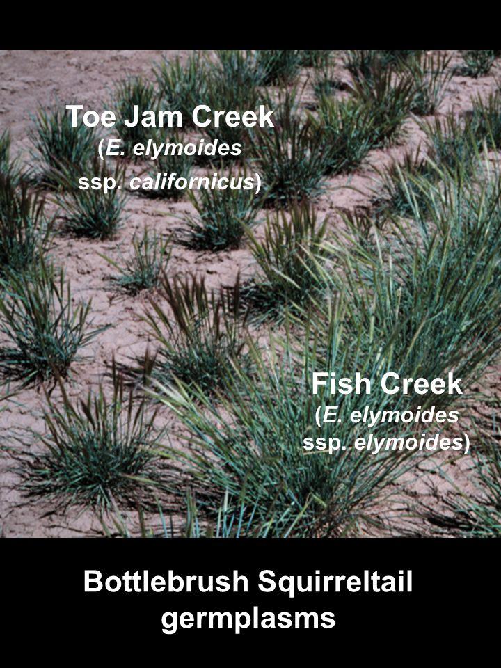 Toe Jam Creek (E. elymoides ssp. californicus) Fish Creek (E. elymoides ssp. elymoides) Bottlebrush Squirreltail germplasms