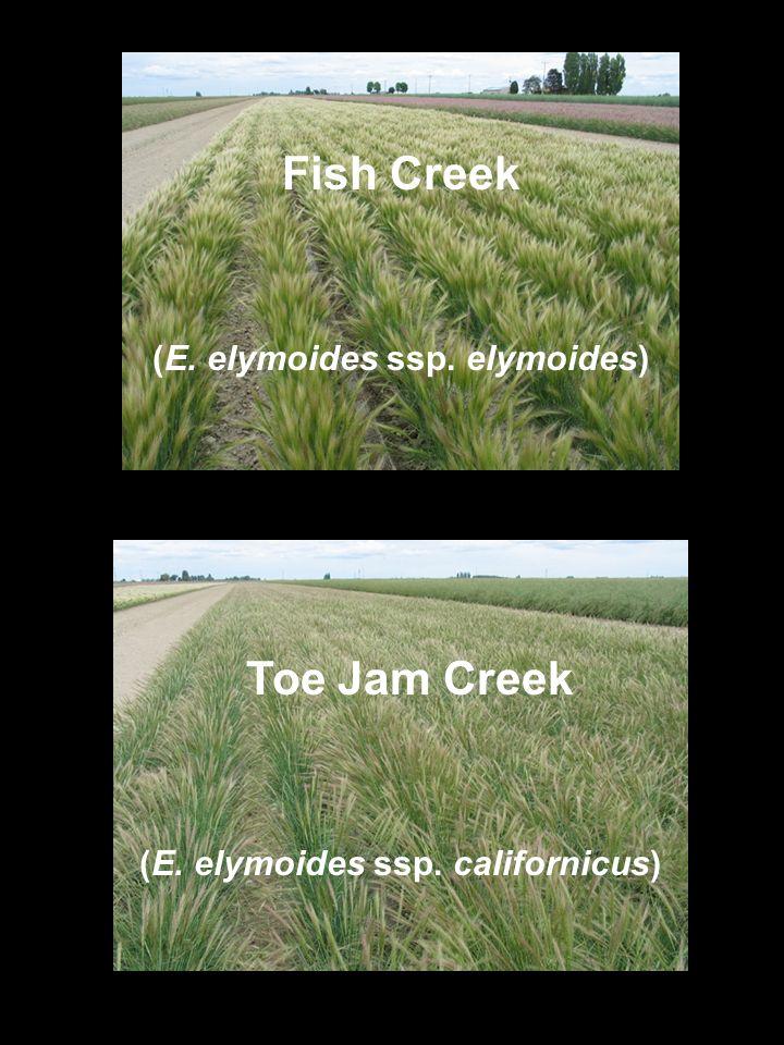 Fish Creek Toe Jam Creek (E. elymoides ssp. elymoides) (E. elymoides ssp. californicus)