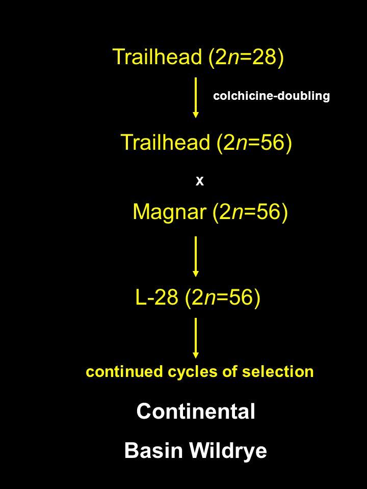 Anticipated Releases 2005 Continental Basin Wildrye Magnar (2n=56) X L-28 (2n=56) Trailhead (2n=56) Trailhead (2n=28) colchicine-doubling continued cy