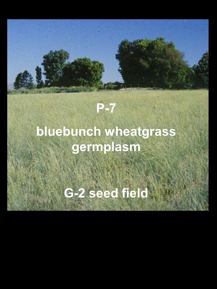 P-7 bluebunch wheatgrass germplasm G-2 seed field