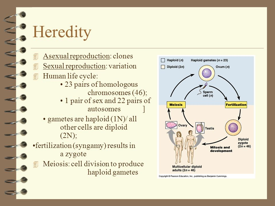 Heredity 4 Asexual reproduction: clones 4 Sexual reproduction: variation 4 Human life cycle: 23 pairs of homologous chromosomes (46); 1 pair of sex an