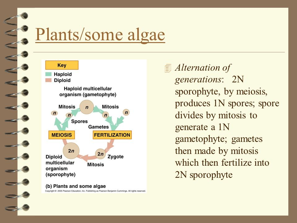 Plants/some algae 4 Alternation of generations: 2N sporophyte, by meiosis, produces 1N spores; spore divides by mitosis to generate a 1N gametophyte;