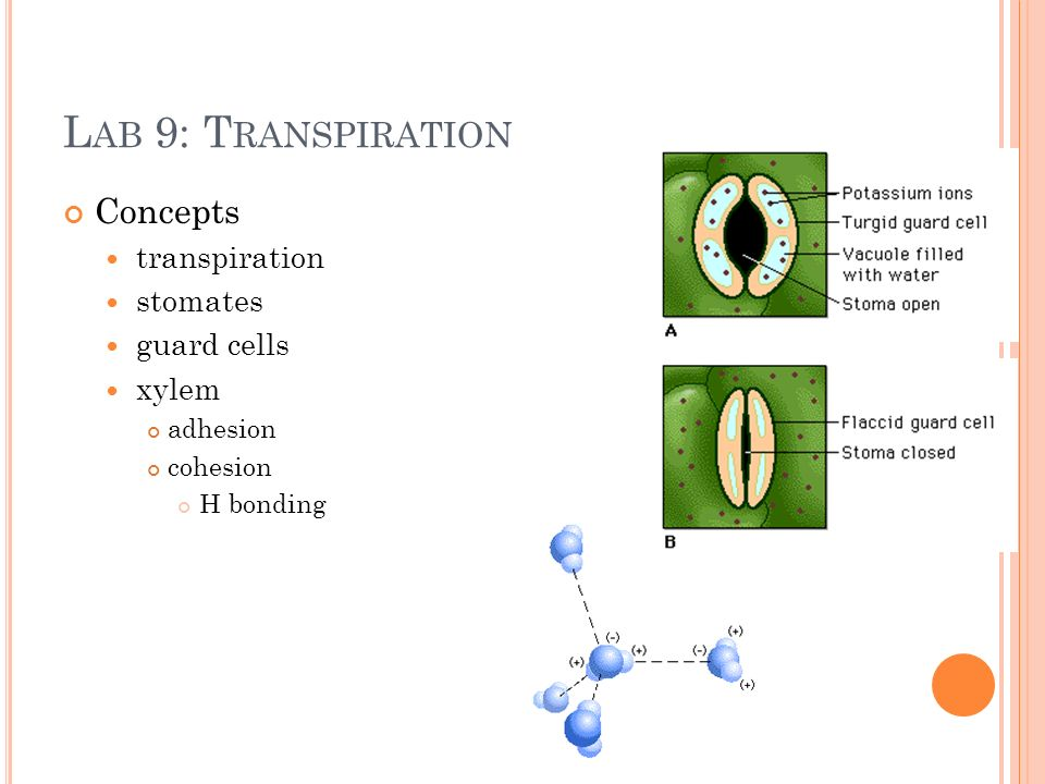 L AB 9: T RANSPIRATION Concepts transpiration stomates guard cells xylem adhesion cohesion H bonding