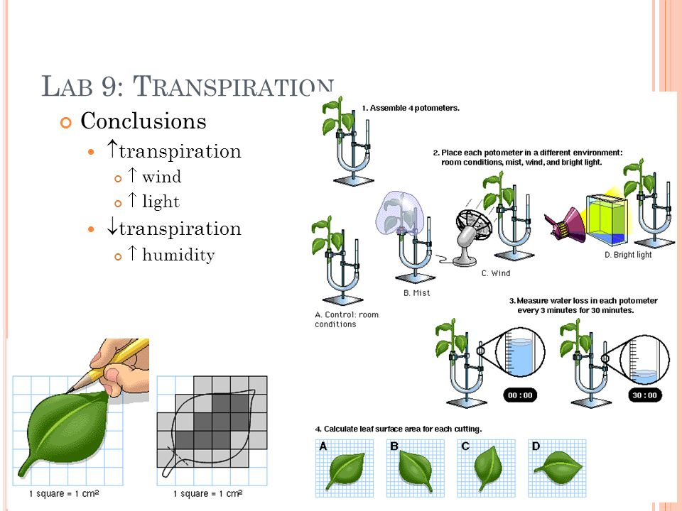 L AB 9: T RANSPIRATION Conclusions transpiration wind light transpiration humidity
