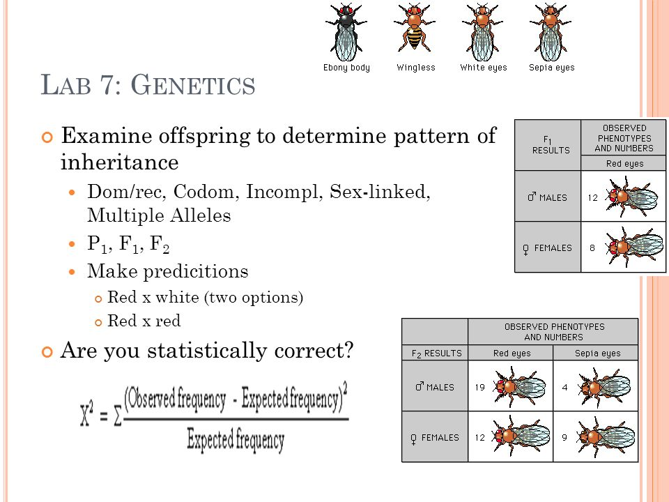 L AB 7: G ENETICS Examine offspring to determine pattern of inheritance Dom/rec, Codom, Incompl, Sex-linked, Multiple Alleles P 1, F 1, F 2 Make predicitions Red x white (two options) Red x red Are you statistically correct?
