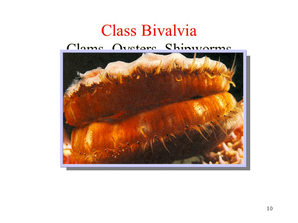 10 Class Bivalvia Clams, Oysters, Shipworms
