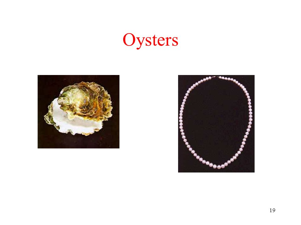 19 Oysters