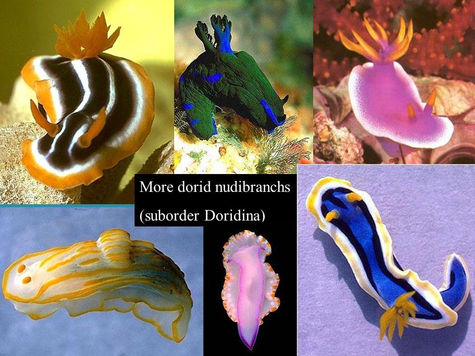 More dorid nudibranchs (suborder Doridina))