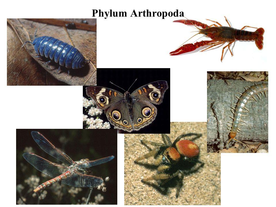 Phylum Arthropoda